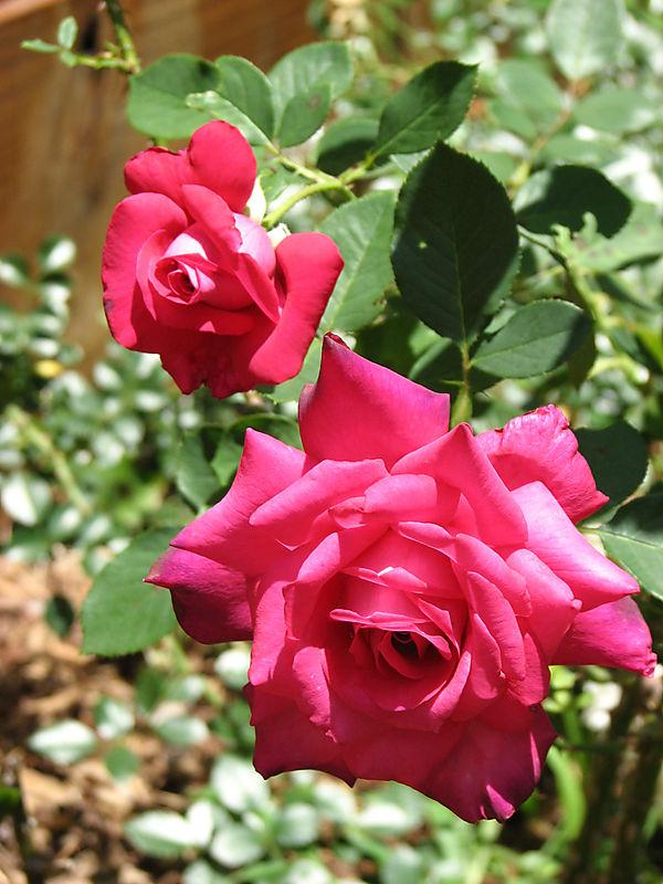 Dublin roses 052008