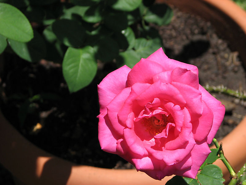 Perfume Delight rose 052008