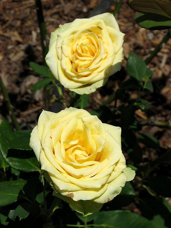 St. Patrick roses 052008