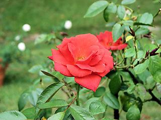 Hot Cocoa rose 063008