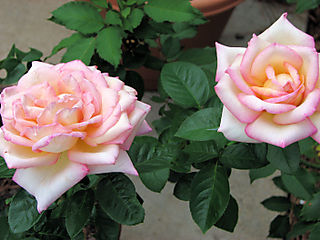 Yellow peace rose 063008