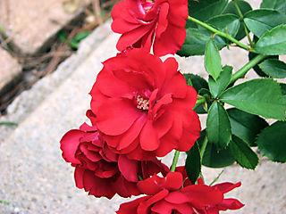 Showbiz rose 063008
